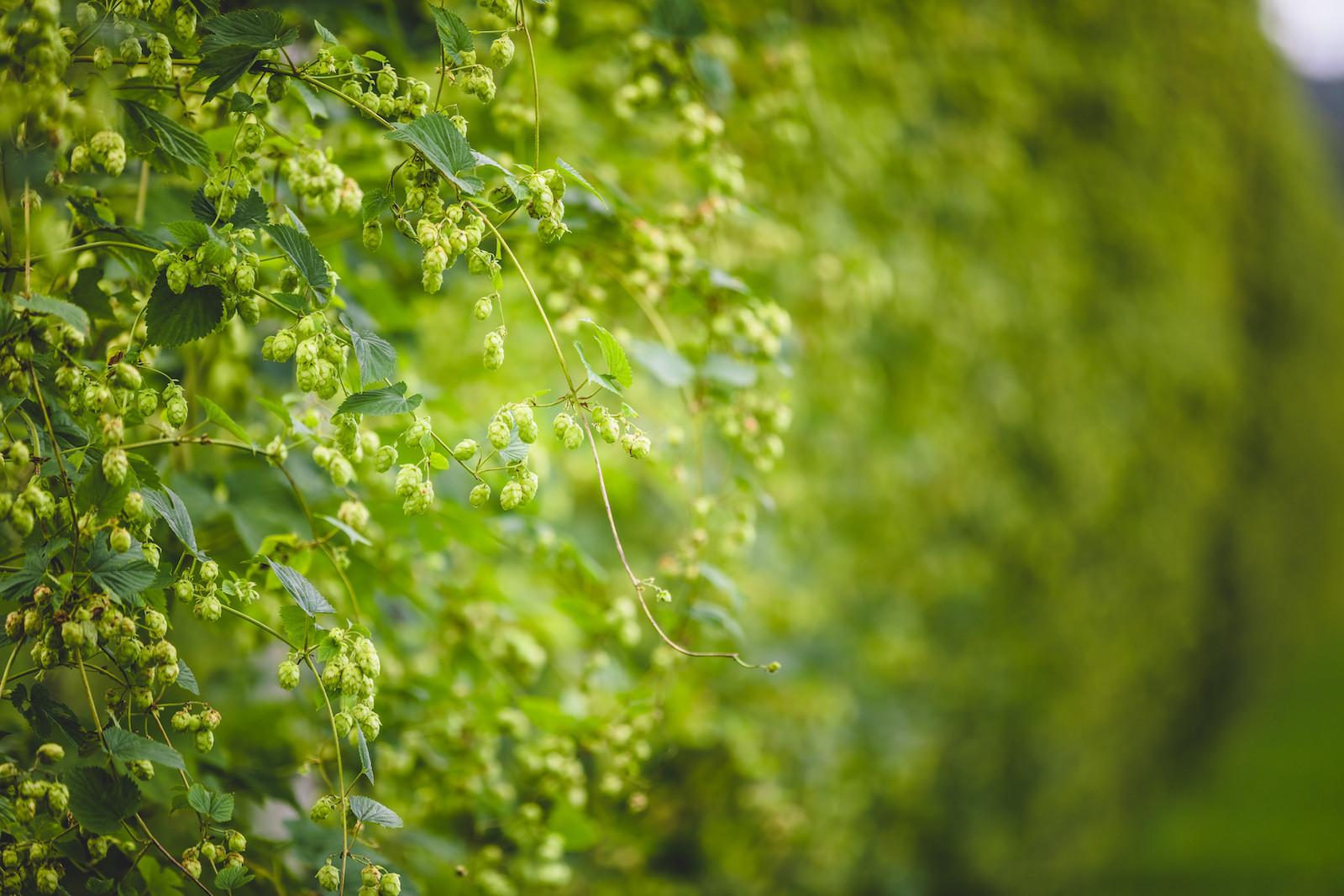 Hopplanten